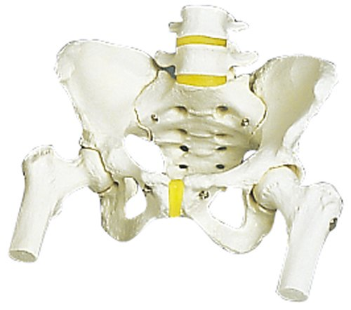 女性骨盤モデル,大腿骨付