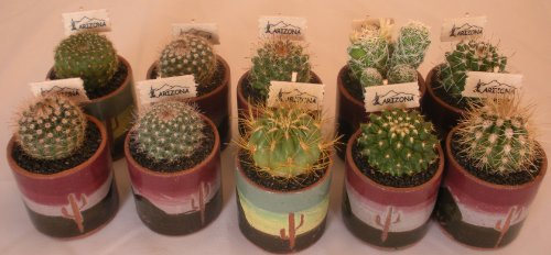 """Live Baby Cactus - 1 Inch Ceramic Pot(exactly As Pictured) - Small Cacti - Cutest Little Mini Cactus - You Will Receive 1 Mini Cactus in a 1"""" Ceramic Pot(exactly As Pictured)"""