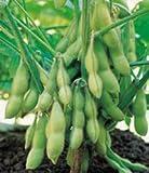 Edible Soy Bean Seeds - 13 grams - GARDEN FRESH PACK!