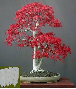 grow-your-secret-garden-japanese-maple-small-leaf-seeds-acer-palmatum