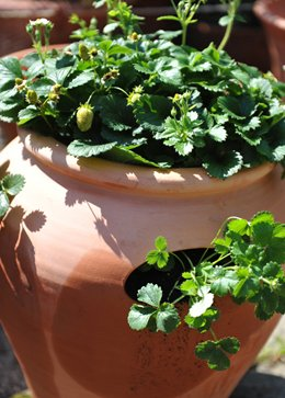 Terracotta strawberry pot ( Terracotta strawberry pot)