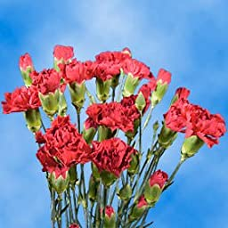 Hot Pink Spray Carnations Gorgeous | 160 Hot Pink Spray Carnations