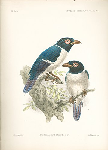 Sarcophanops steerii (Wattled Broadbill) Hand Colored Plate PDF