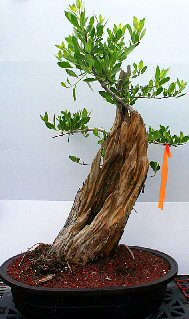 Buttonwood Bonsai Tree.(conocarpus erectus) - Buy Buttonwood Bonsai Tree.(conocarpus erectus) - Purchase Buttonwood Bonsai Tree.(conocarpus erectus) (Home, Home & Garden,Categories,Patio Lawn & Garden,Plants & Planting,Outdoor Plants,Outdoor Bonsai)