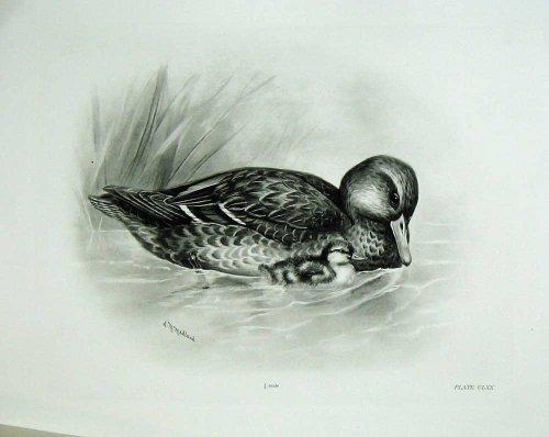 1906-mallard-o-femmina-adulta-di-boscas-di-anas-dellanatra-selvatica