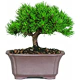 Brussel's Mugo Pine Bonsai