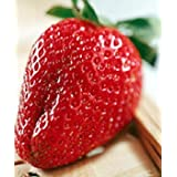 Strawberry - Delicious ~ Livingston Seed