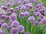 1 x Chives Plug Plants - Pre Order for April 2014 - Perennial Herbs