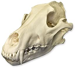 Gray Wolf Skull (Natural Bone Quality A)