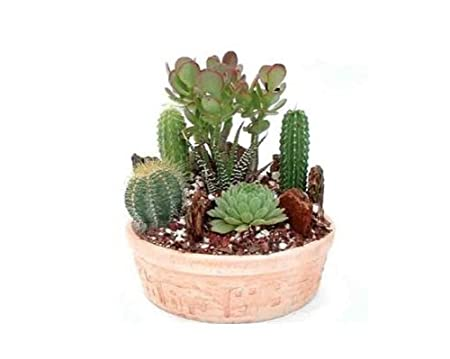 Succulent Plants - Cactus Garden with Pincushion Cactus