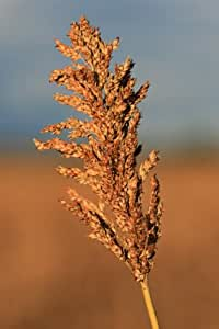 70 SUGAR DRIP SORGHUM AMBER CANE Grain Vegetable Seeds