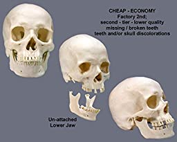 Human Skull Replica Life-Size - Low Cost Economy-Factory 2nd Tier- Good Quality