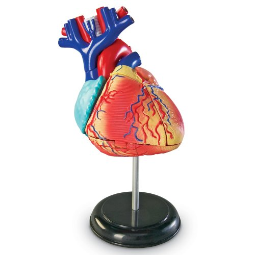 Learning Resources Heart Model (Human Heart Model compare prices)