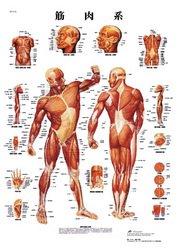 医学チャート 筋肉系