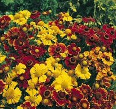 Buy Helena Mix Helens Flower 25 Plant-Helenium
