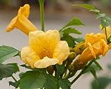 Campsis radicans f. flava (Yellow trumpet vine) 3 ltr pot