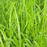Plants Guru Lemon Grass