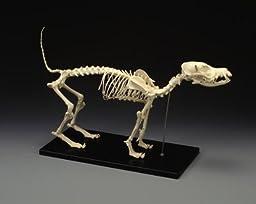 Canine Skeleton, Standard Size