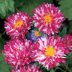 Buy China Aster Matsumoto Red Stripe – Park Seed Aster Seeds