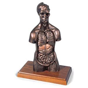 3b Scientific Medart Bronze Torso