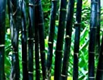 "(TSB)~""BLACK"" BAMBOO~Seeds!!~~~~~~Ele..."