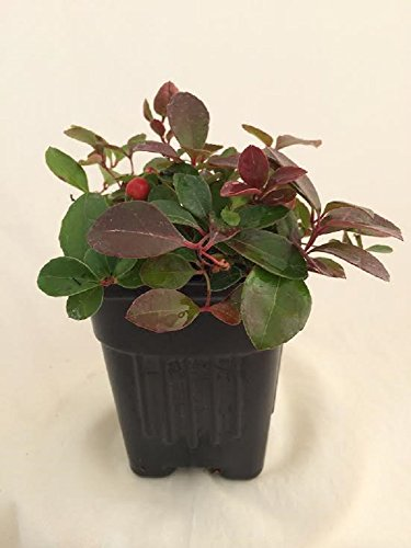 Wintergreen Plant With Edible Berries - Gaultheria - Teaberry - Aromatic Leaves