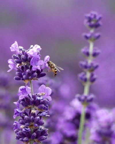 Munstead Lavender Herb - Perennial
