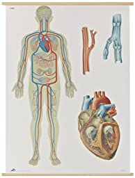3B Scientific V2018M Human Blood Circulation Anatomical Chart, with Wooden Rods, Oversize Poster, 33.1\