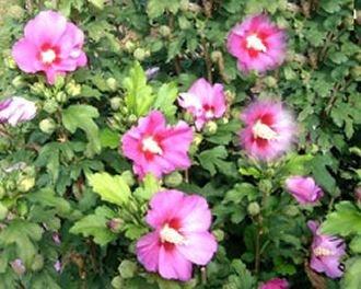 hibiskus schneiden hibiskus schneiden einebinsenweisheit. Black Bedroom Furniture Sets. Home Design Ideas