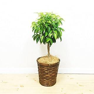 ベンジャミンは部屋をおしゃれに演出してくれる観葉植物
