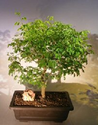Bonsai Boy S Flowering Brazilian Raintree Bonsai Tree Pithecellobium Tortum Find Best Cheap Anh030320141