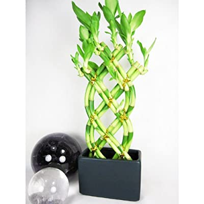 9GreenBox - Live 8 Braided Style Lucky Bamboo Plant Arrangement with Black Vase by 9GreenBox