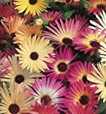 Mesembryanthemum Livingstone Daisy seeds