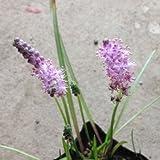 ツルボ(蔓穂)3号ポット 2株セット[秋にピンクの可憐な花を咲かせる珍しい球根植物]