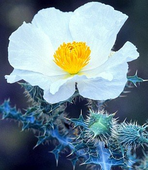 Buy White Prickly Poppy 50 Seeds – Argemone pleiacantha – FREE SHIPPING ON ADDITIONAL HIRTS SEEDS
