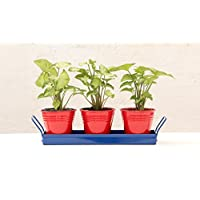 Green Gardenia Table Top Red Pots With Dark BlueTray I
