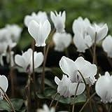 白花シクラメン・ネアポリタナム