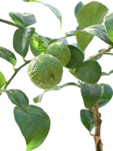 lime-tree-citrus-hystrix-kaffir-lime