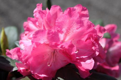 rhododendron-yakushimanum-anuschka-in-a-5-l-pot-height-approx-30-40-cm