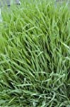 KINGS SEEDS Rye, Grazing - 2.5kg for...