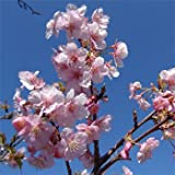 桜[サクラ・カンヒザクラ系]:河津桜[カワヅザクラ]接木1年生4号ポット[早春の花木特集]
