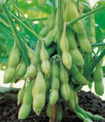 """Seeds And Things Soybean Seeds 15+ Edamame """"Midori Giants"""" A Traditional Edamame Soybean."""