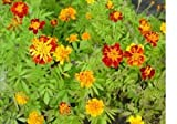 French Marigold Flower Seeds - 1,000 Flower Seeds in Each Packet
