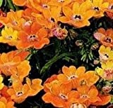 Nemesia - Orange Prince - 600 Seeds