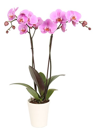 color-orchids-orchid-in-ceramic-pot-20-24-tall-assorted