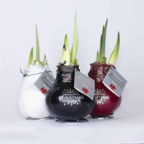 amaryllis xxl gewachst weiss zimmerpflanzen zwiebeln. Black Bedroom Furniture Sets. Home Design Ideas