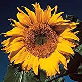 Mammoth Russian Sunflower - 30 Seeds, 7g