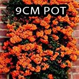 PACK OF 3 Pyracantha Orange Glow in 9cm Pot - Evergreen Hedging Shrubs With Thorns