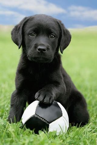 Labrador Retriever Puppy with Soccer Ball Animal Poster