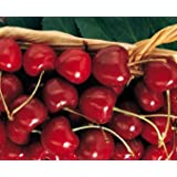 Kristin Cherry Tree Seeds - 20 Cherry Seeds - Qualityseeds4less Exclusive